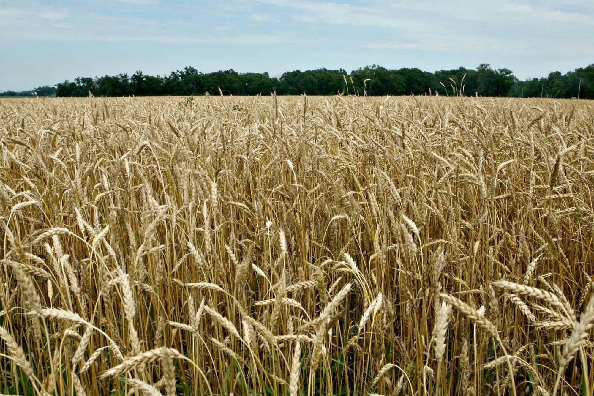 Advierten que el trigo ruso desafía al argentino en Brasil