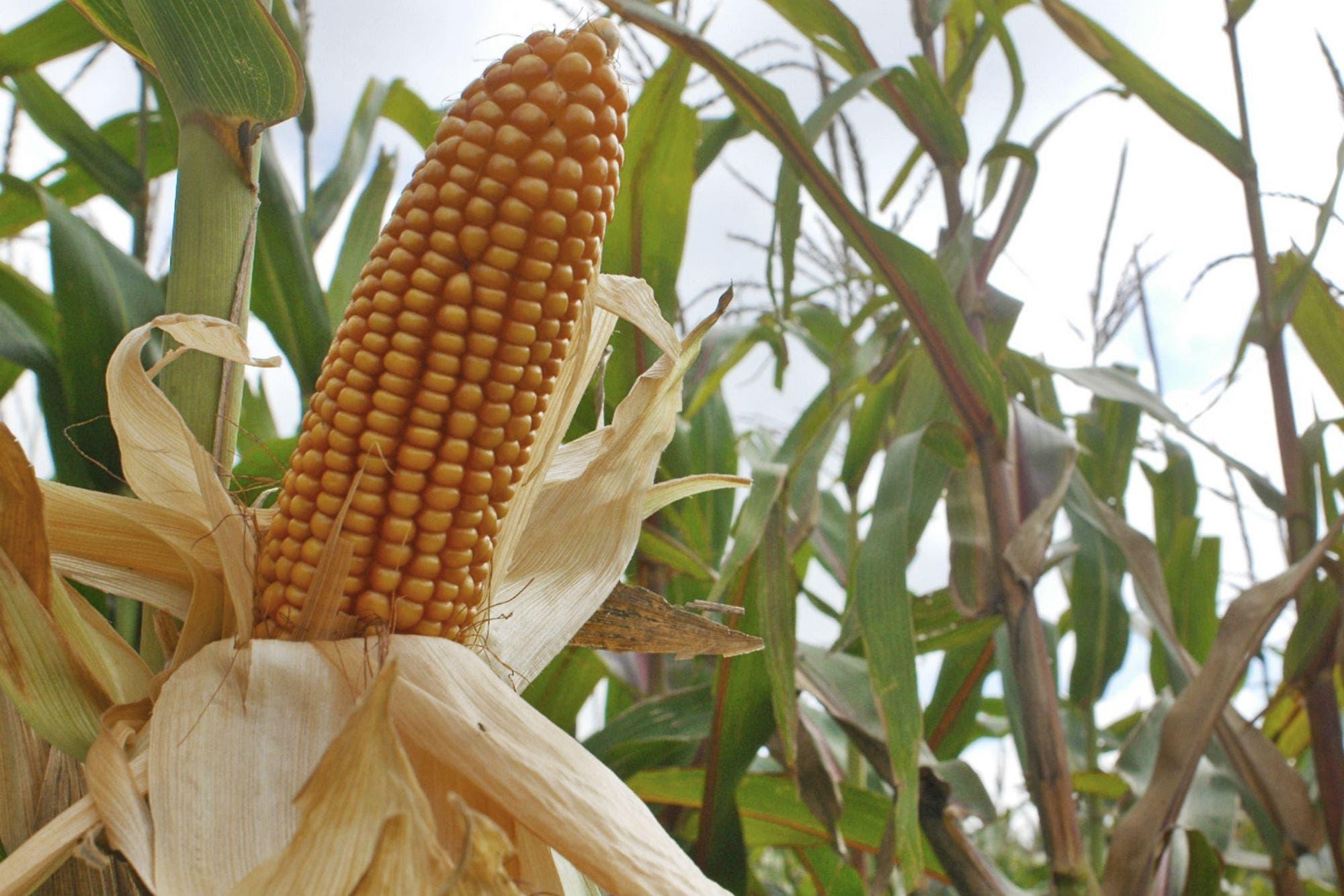 Prevén una suba de retenciones al maíz